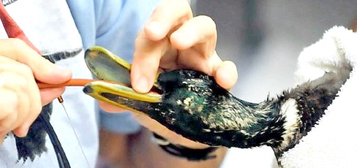 Хвороби качок