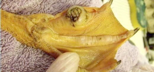 Хвороби лап у качок