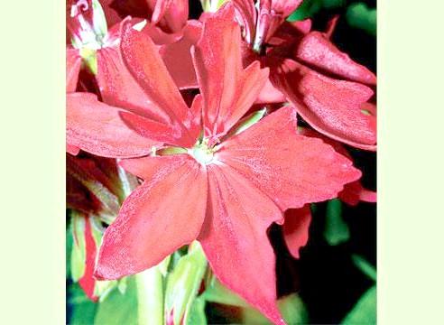 Пеларгонія зональна, P. zonale Startel Red
