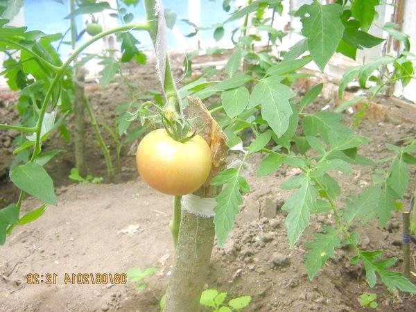 Перший помідор.Сорт & amp; amp-quot-Пінк Парадайз & amp; amp-quot-.