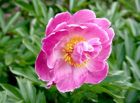 Півонія, Paeonia lactiflora