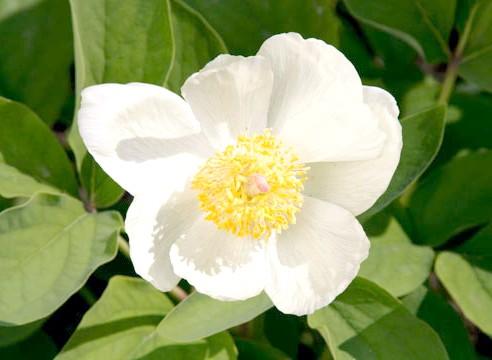 Півонія малочноцветковий