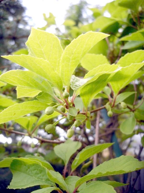 Бутони лимонника