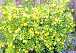 Чому у лимона опадає листя і як з цим боротися