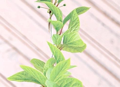 Лимонник, ліана, Schizandra chinensis