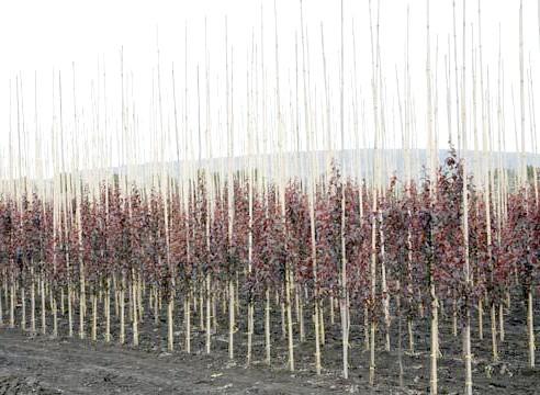 Саджанці декоративно-лістенних дерев