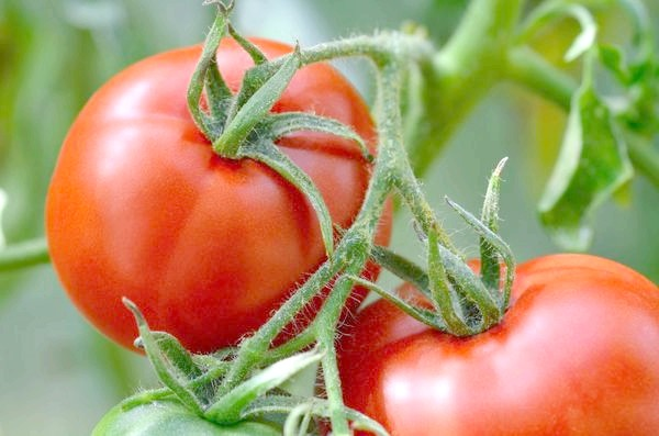 Як же здорово влітку з'їсти смачний помидорчик з грядки!