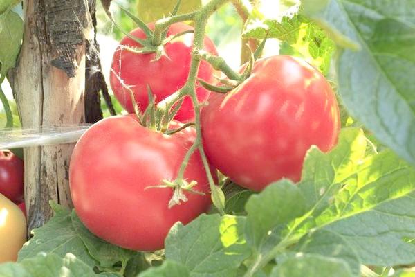 Виростити свої помідори цілком реально без застосування хімічних добрив