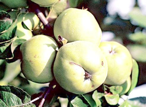 Яблуня, Антонівка звичайна