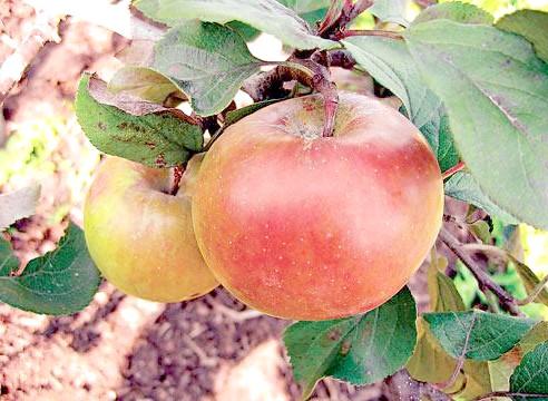 Яблуня, сорт Свіжість