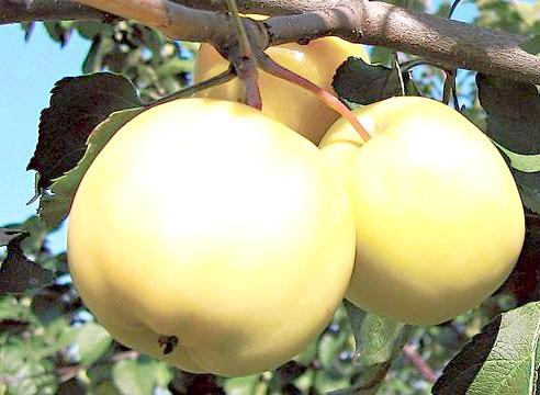 Яблуня, сорт Янтар