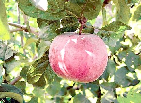 Яблуня, сорт Алеся
