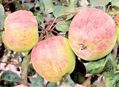 Яблуня, сорт Урожайне Сусова