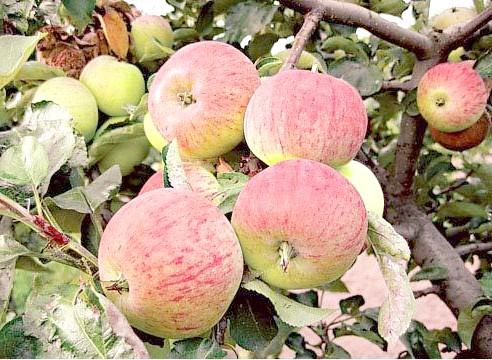 Яблуня, сорт Орловський піонер