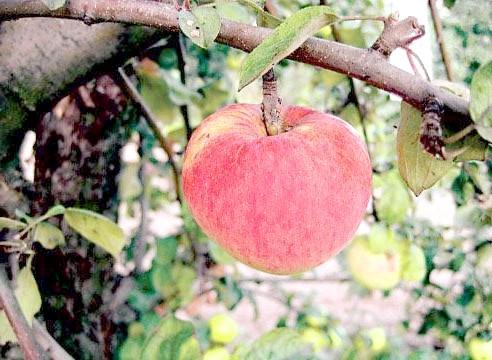 Яблуня, сорт Орловим