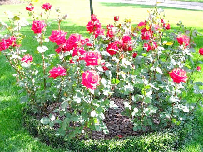 Фотографія клумби з трояндами, prizyv.ru