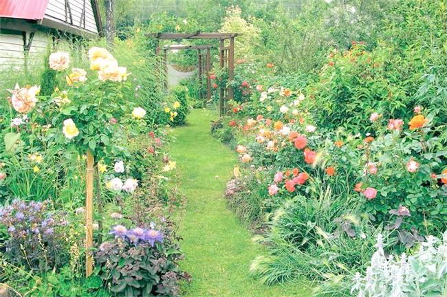 На фото троянди в саду, sta.ck.ua