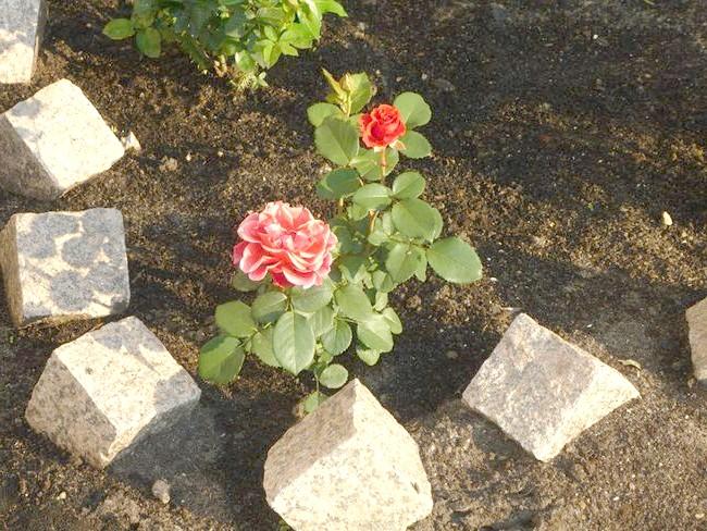 На фото посадка і догляд за трояндами, landscape-msk.ru