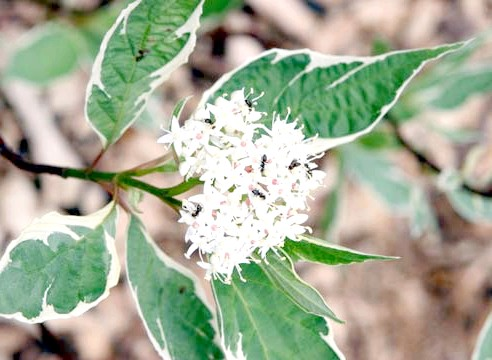 Дерен білий, Cornus alba