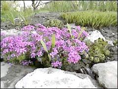 Рослини для рокария