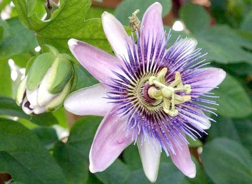 Пасифлора блакитна, Passiflora caerulea