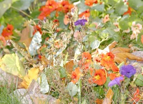 Настурція, цвітіння