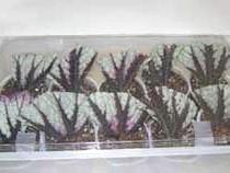 Розмноження бегонії листовими живцями