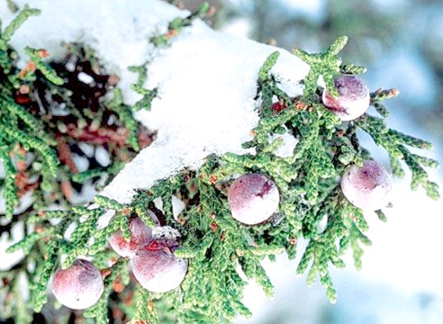 Ялівець, шишкоягоди, Juniperus