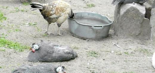 Фотографія цесарки у дворі, zoohuman.ru
