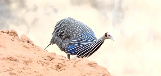 Цесарка на камені, elis-birds.narod.ru