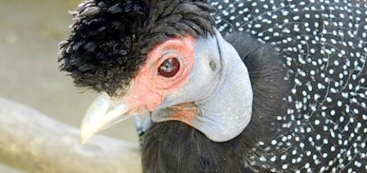 Фотографія чорної цесарки, pticevod.forumbook.ru