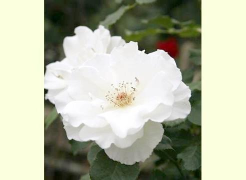 Роза, група старовинних садових (паркових)