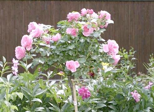 Роза, штамбова форма