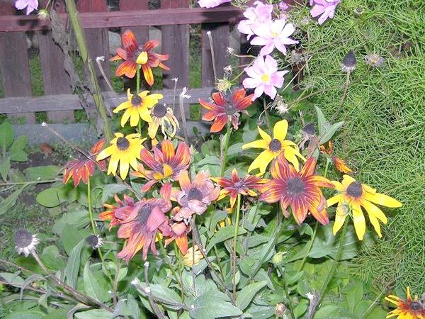 Квіти рудбекии