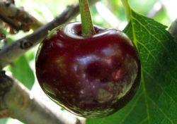 Найбільші і солодкі сорти вишні, для середньої смуги росії