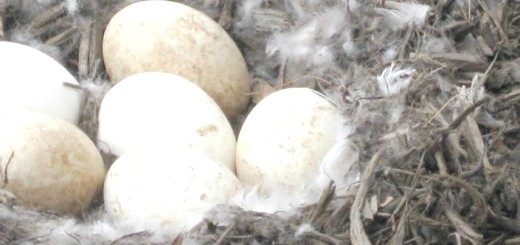 Гусячі яйця