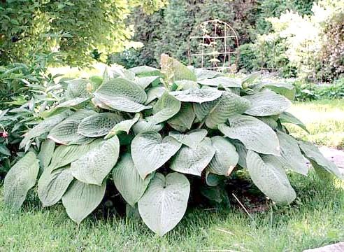 Хоста велика, рослина солітер