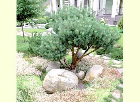 Сосна карликова, рослина солітер, композиція з каменями