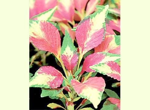 Амарант, рослина солітер