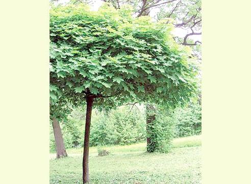 Клен з кулястою кроною, рослина солітер