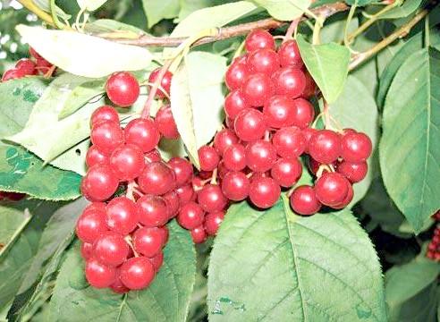 Черемуха віргінська, плоди, Padus virginiata