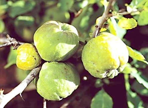 Хеномелес, плоди, Сhaenomeles