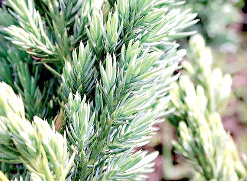 Ялівець лускатий, Juniperus sqyamata, Meyer