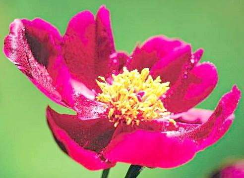 Півонія сорти Unga, квітка