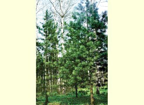 Сосна в лісі