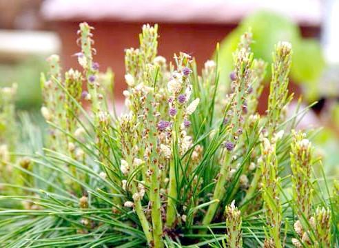 Сосна густоцветковий, pinus densiflora, сорт Henry Bud