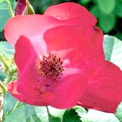 Роза'Robusta'