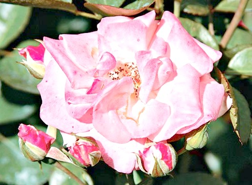 Троянда флорибунда, сорт Trier 2000
