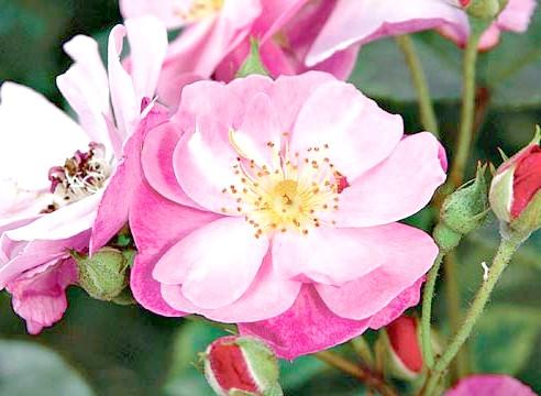 Роза, група шрабов, сорт Lavender Dream