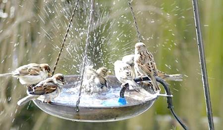 Фото - Спа-салон для пернатих або все про поїлках і купальнях для птахів